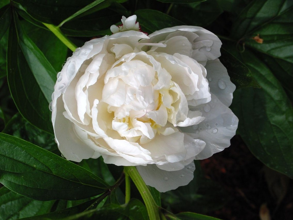 White Peonies | Creative Joys